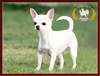 female champion chihuahua